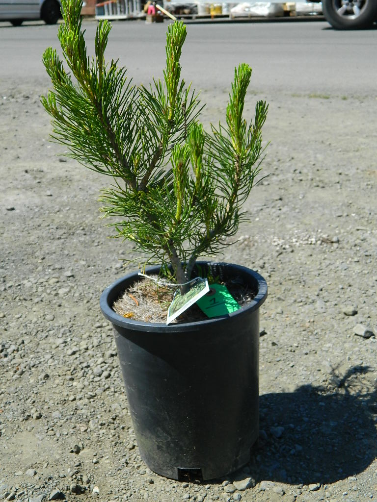 00320- Mugho Pine Tree '16-18in Tall' First Come First Served, Must Pick up Wednesday