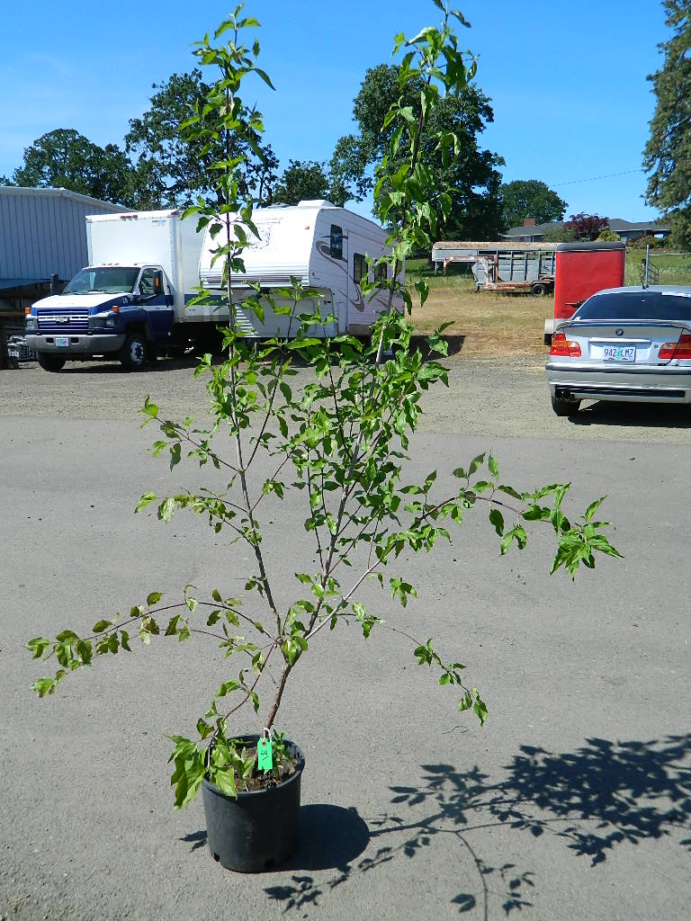 OP00323- Flowering Dogwood Trees '77in Tall' First Come First Served, Must Pick up Wednesday