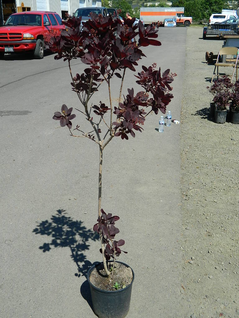 OP00328- Continus Coggygria Purple Smoke Bush '49-50in' First Come First Served, Must Pick up Wednesday