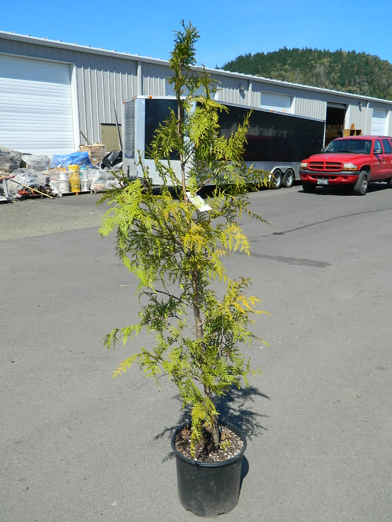 OP00275- Thuja Western Red Cedar '71in' First Come First Served, Must Pick up Wednesday