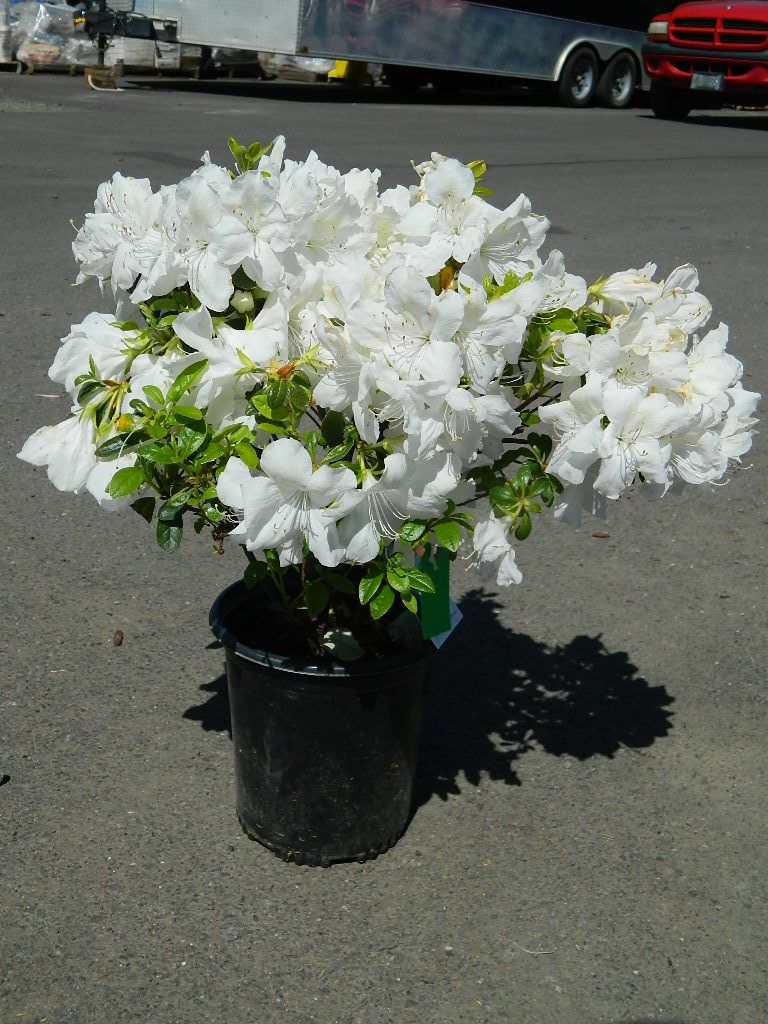 OP00329- Azalea 'Girard's Pleasant White' 17-20in First Come First Served, Must Pick up Wednesday