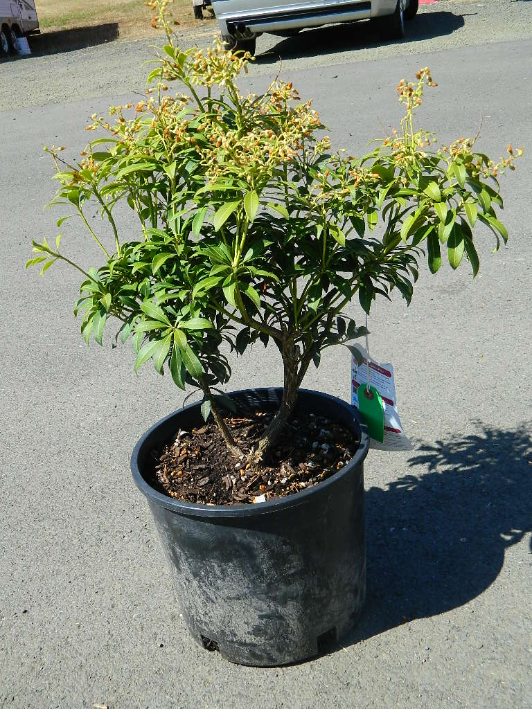 OP00333- Forest Flame Japanese Pieris '29in' First Come First Served, Must Pick up Wednesday