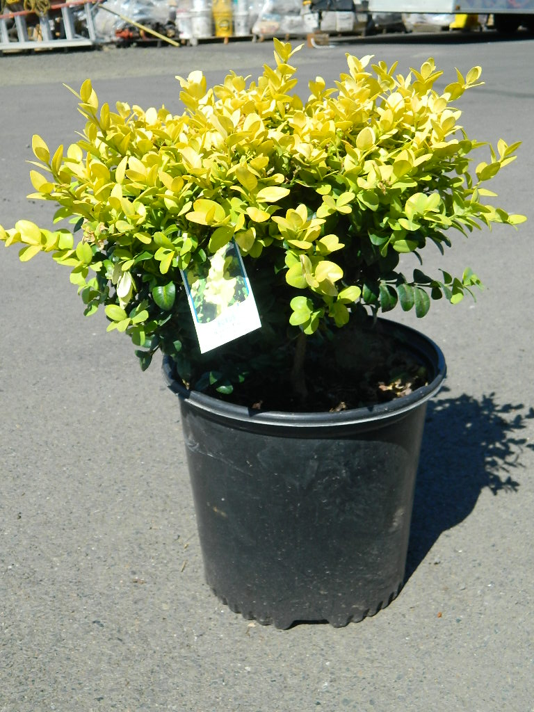 OP00338- Buxus Wanford Page Boxwood '20-24in' First Come First Served, Must Pick up Wednesday