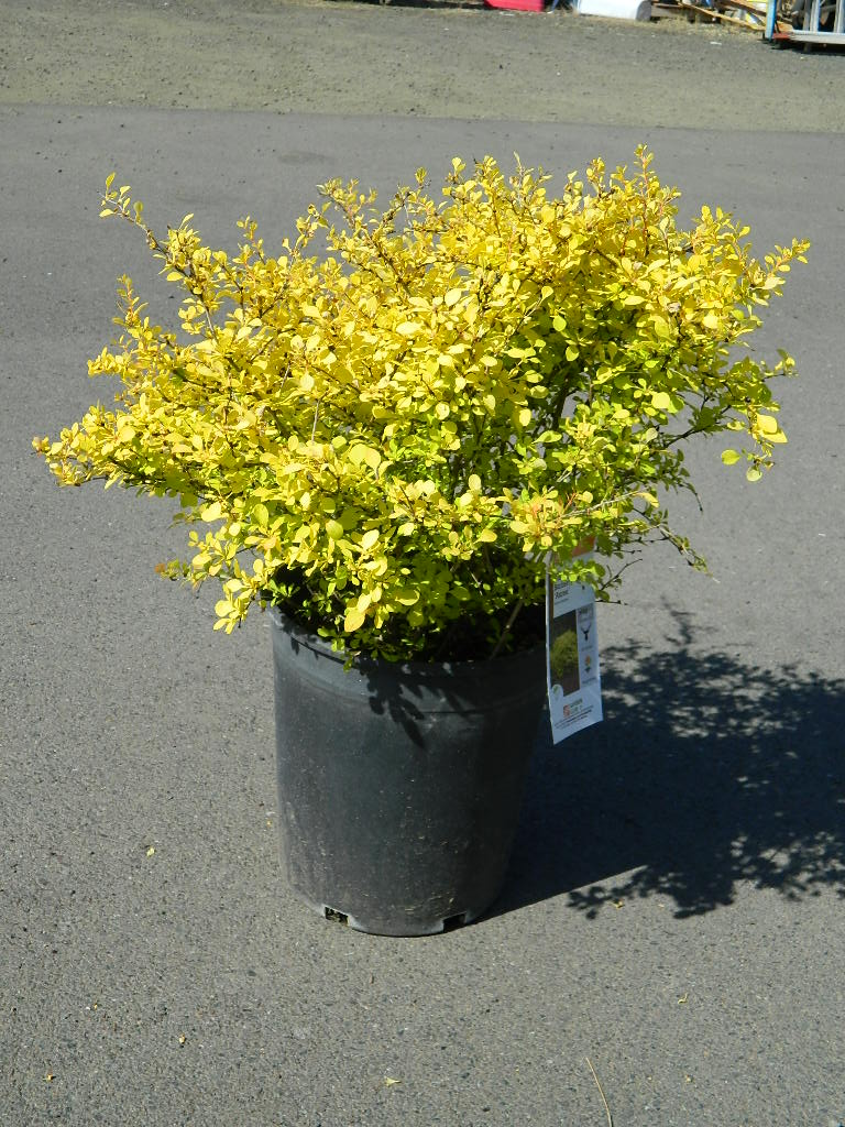 OP00305- Golden Japanese Barberry 'Aurea' 27-34in First Come First Served, Must Pick up Wednesday