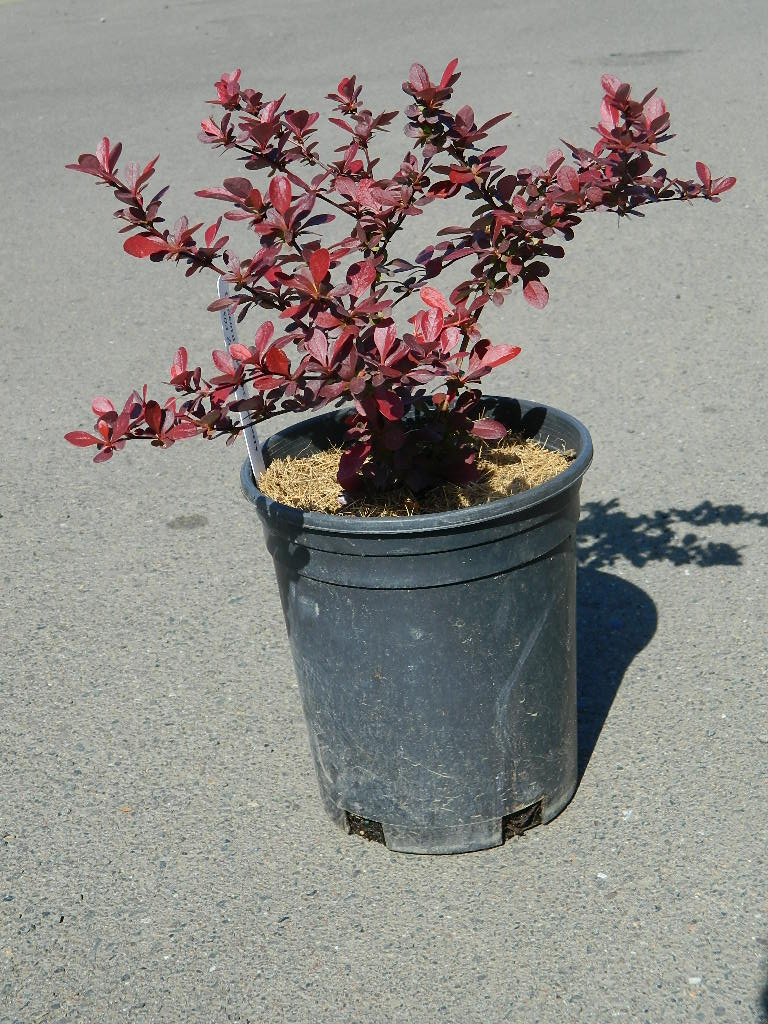 OP00317- Concord Japanese Barberry '13-14in' First Come First Served, Must Pick up Wednesday