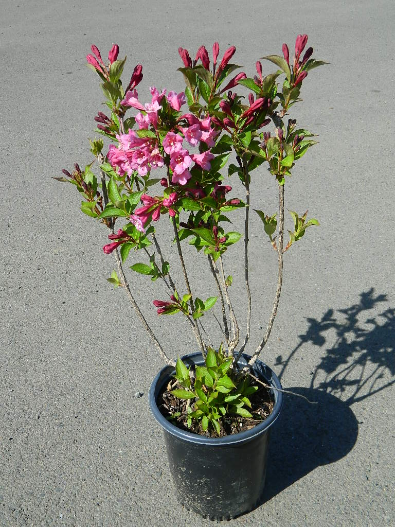 OP00316- Weigela Old Fashioned '22-24in' First Come First Served, Must Pick up Wednesday