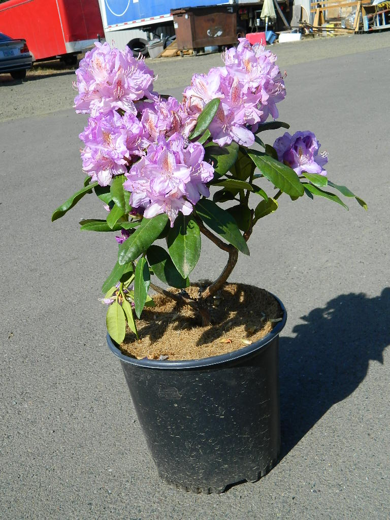 OP00314- Purple Rhododendron Minne Tonka '22-24in' First Come First Served, Must Pick up Wednesday